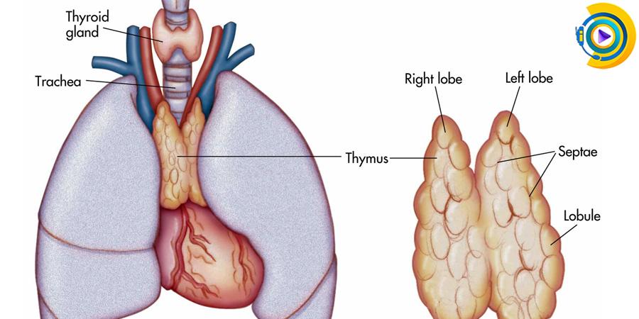 بیماری های غدد مترشحه داخلی در معافیت